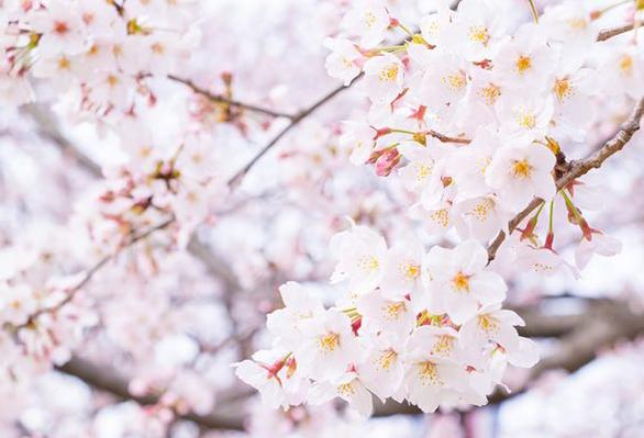 【静岡市】婚約指輪・結婚指輪に人気♡桜色のピンクダイヤモンドに気持ちを込める